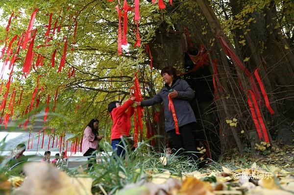 留坝古银杏文化旅游节开幕  26米高千年银杏树蔚为壮观 - 视点阿东 - 视点阿东