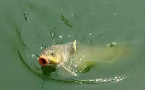 立体鲤鱼的画法步骤