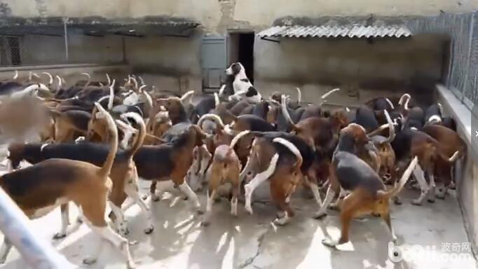 100只狗狗在美女饲养员的指挥下吃肉 这场面让人不得不服从! -图片5