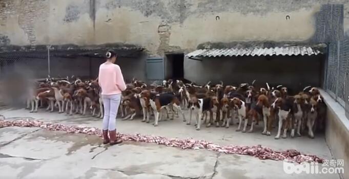 100只狗狗在美女饲养员的指挥下吃肉 这场面让人不得不服从! -图片2