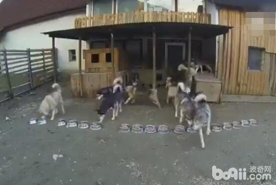一次性遛16只哈士奇 这场面太欢快了 简直就是狗遛人啊!-图片6