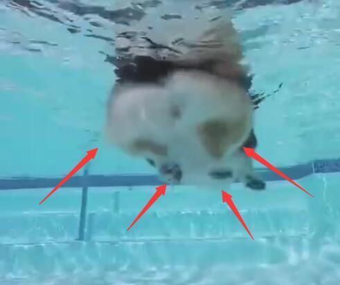 看着柯基狗狗在水里面游泳 这速度感觉还跟不上海龟!-图片1