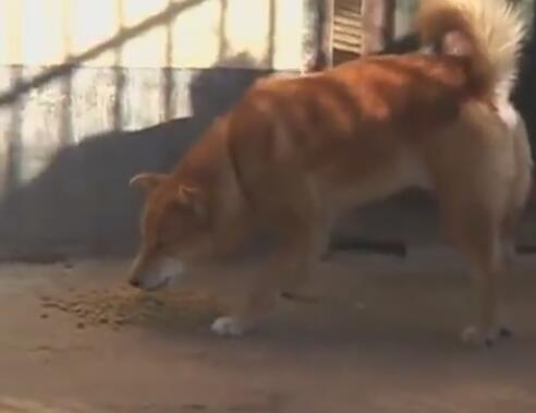 这个中华田园犬霸气了 抢狗熊的食物 狮子只能乖乖的给它舔毛!-图片3