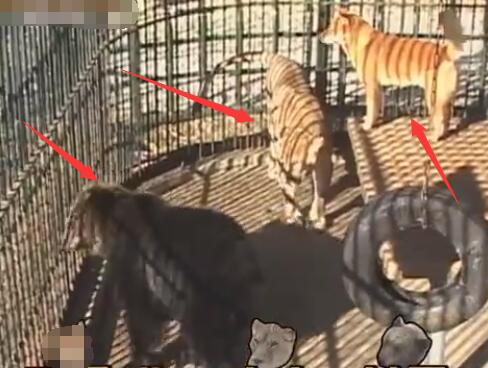 这个中华田园犬霸气了 抢狗熊的食物 狮子只能乖乖的给它舔毛!-图片1