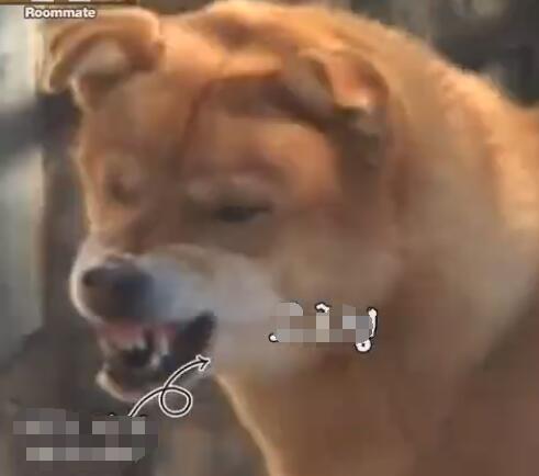 这个中华田园犬霸气了 抢狗熊的食物 狮子只能乖乖的给它舔毛!-图片6