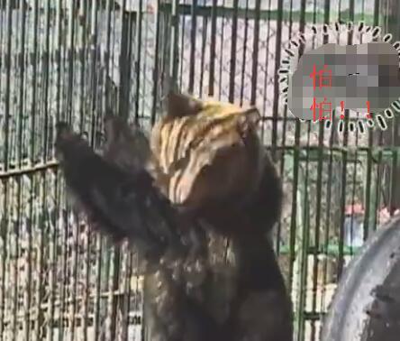 这个中华田园犬霸气了 抢狗熊的食物 狮子只能乖乖的给它舔毛!-图片5