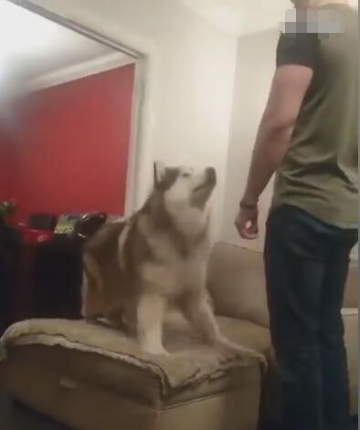 主人下班回来之后 阿拉斯加犬直接索要抱抱 真是个矫情的大狗狗-图片1