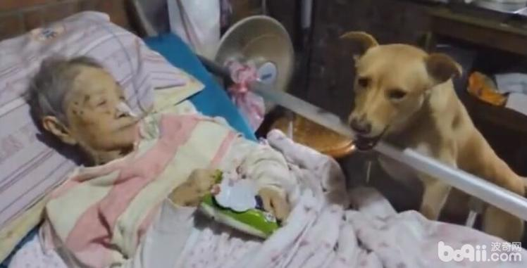 奶奶躺在病床上 陪伴多年的狗狗在一旁 看着狗狗的表情让人感动-图片1