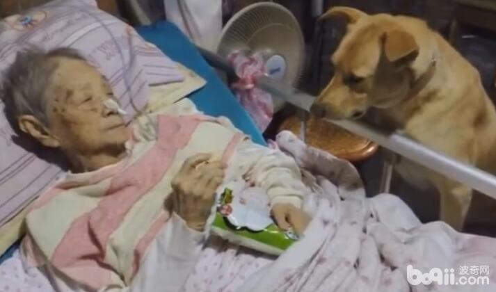 奶奶躺在病床上 陪伴多年的狗狗在一旁 看着狗狗的表情让人感动-图片4