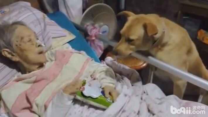 奶奶躺在病床上 陪伴多年的狗狗在一旁 看着狗狗的表情让人感动-图片2
