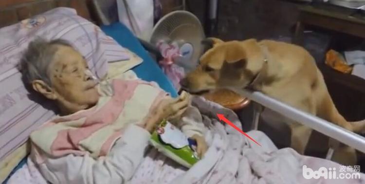 奶奶躺在病床上 陪伴多年的狗狗在一旁 看着狗狗的表情让人感动-图片3