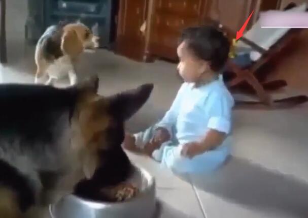 狗狗正在碗里吃东西 可宝宝一直抢它的饭碗 狗狗的反映太萌啦!-图片2