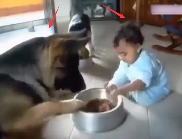 狗狗正在碗里吃东西 可宝宝一直抢它的饭碗 狗狗的反映太萌啦!-图片1