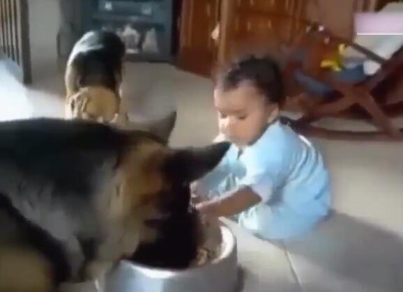 狗狗正在碗里吃东西 可宝宝一直抢它的饭碗 狗狗的反映太萌啦!-图片3