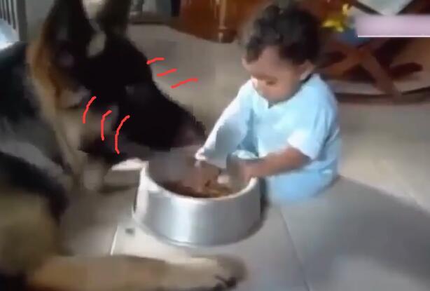 狗狗正在碗里吃东西 可宝宝一直抢它的饭碗 狗狗的反映太萌啦!-图片4