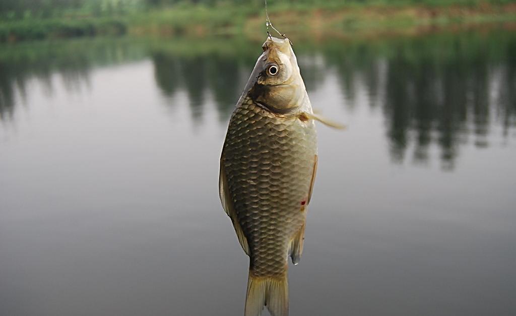 钓鱼人 送上野钓鲫鱼全攻略,助你直击大板鲫