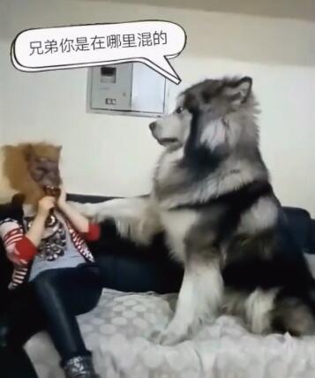 女主人带上狼的面具吓狗狗 然而这狗确是这个样子 让人意外!-图片3