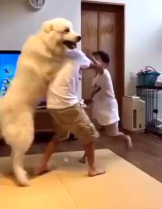 兄弟俩打架了 狗狗劝架却只劝哥哥 太聪明了!-图片1