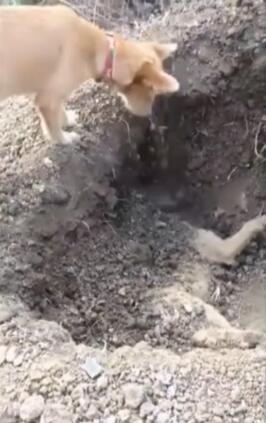 养得的狗狗去世了埋葬的时候 看到它狗伙伴这样做 主人更伤心了-图片4