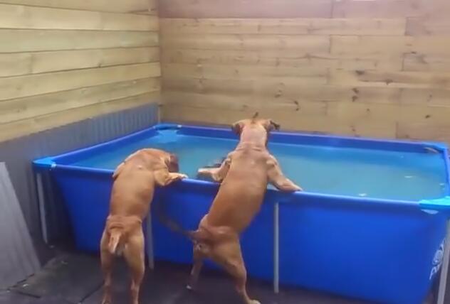 当这2个狗狗这样从水池里拿出轮胎后 智商就暴露了!成精啦!-图片1
