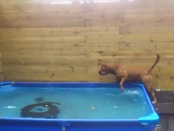 当这2个狗狗这样从水池里拿出轮胎后 智商就暴露了!成精啦!-图片3