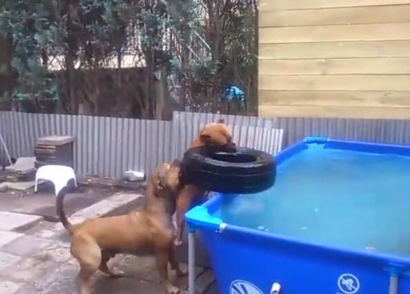 当这2个狗狗这样从水池里拿出轮胎后 智商就暴露了!成精啦!-图片7