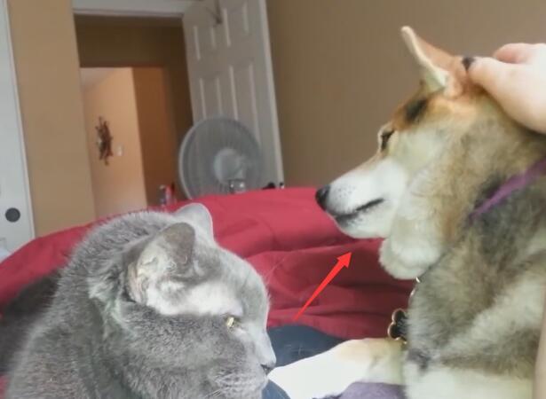 主人在摸猫咪 狗狗在一旁吃醋 不停的做这个动作吸引主人-图片5