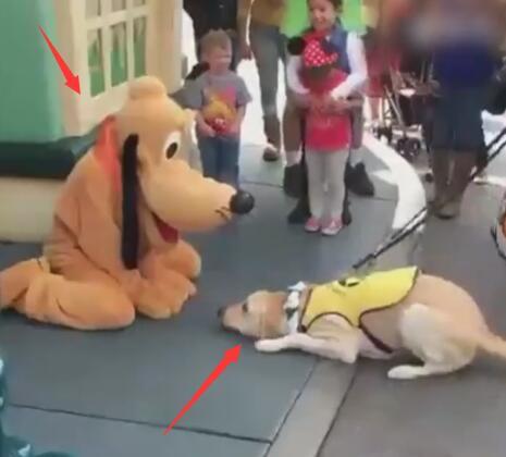 狗狗到迪士尼看到布鲁托后 居然认它做大哥 拉都不走啊!-图片1