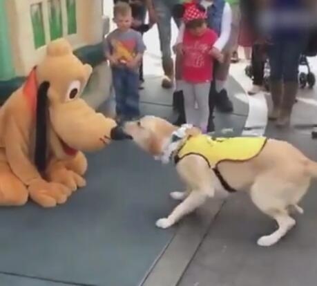 狗狗到迪士尼看到布鲁托后 居然认它做大哥 拉都不走啊!-图片2