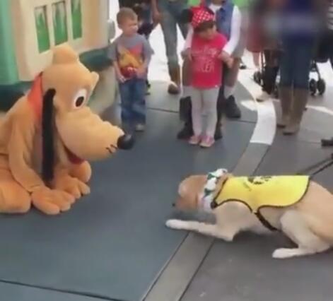 狗狗到迪士尼看到布鲁托后 居然认它做大哥 拉都不走啊!-图片4