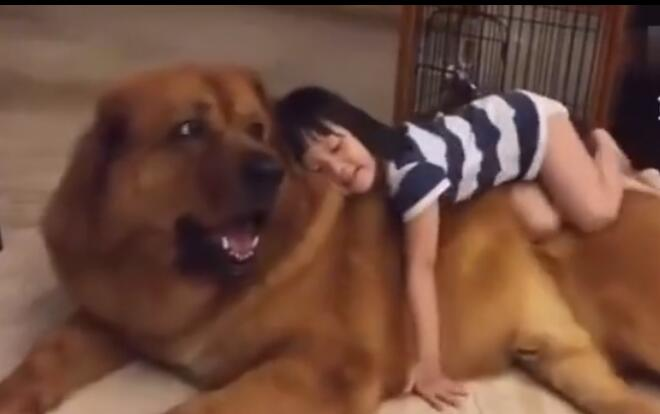 凶猛狗狗遇到可爱的小女主人后 变成了乖乖狗 直接让她睡在身上-图片1