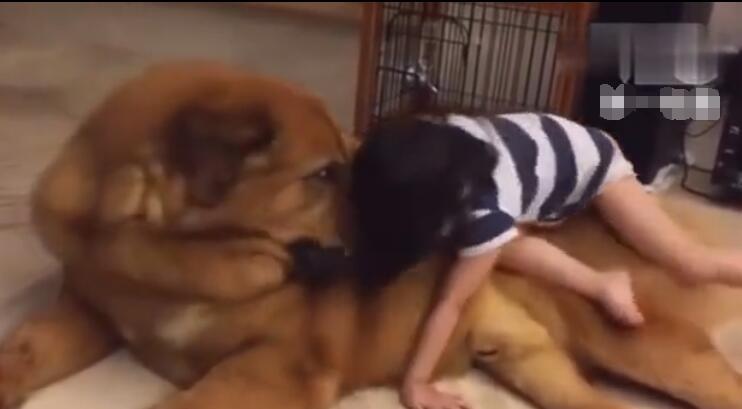 凶猛狗狗遇到可爱的小女主人后 变成了乖乖狗 直接让她睡在身上-图片3