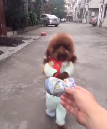 狗狗走路走得太急鞋掉了 听到主人叫它后 狗狗赶紧做出这个举动-图片3