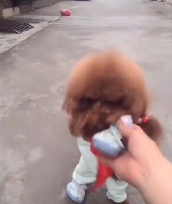 狗狗走路走得太急鞋掉了 听到主人叫它后 狗狗赶紧做出这个举动-图片4