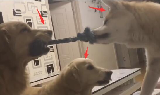 这个柴犬太讨厌了 金毛狗狗都跟它打了起来!-图片1
