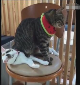 灰猫把白猫当成了垫子 白猫却还一脸享受的样子-图片2