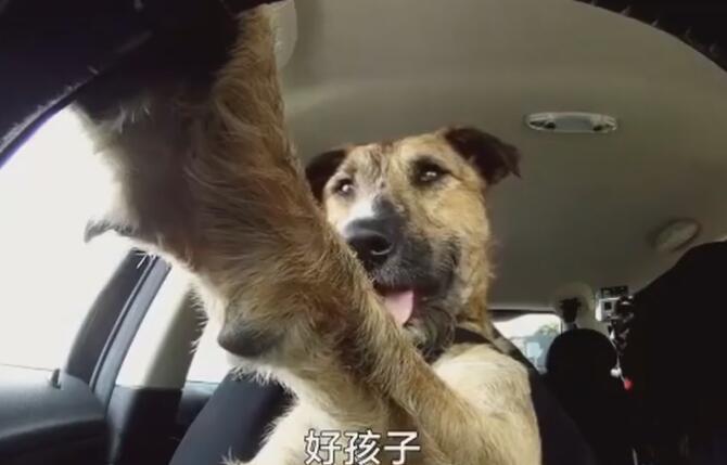 狗狗会开车是真的!8周训练之后,就一副老司机的样子了-图片4