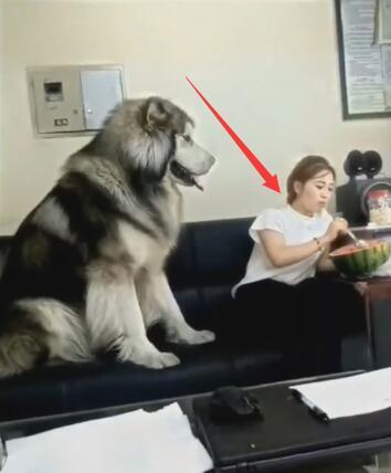 女主在吃西瓜 200斤的狗扑上来要吃的 不给就撒娇真怕被压坏啊-图片1