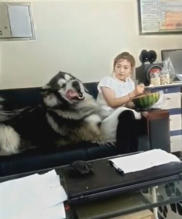 女主在吃西瓜 200斤的狗扑上来要吃的 不给就撒娇真怕被压坏啊-图片4