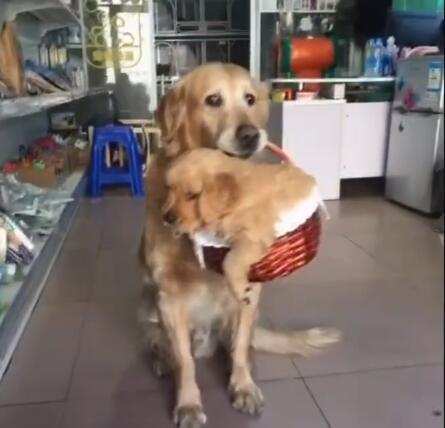 狗妈妈听说主人要把小金毛送走了 这货直接叼起篮子就走-图片3