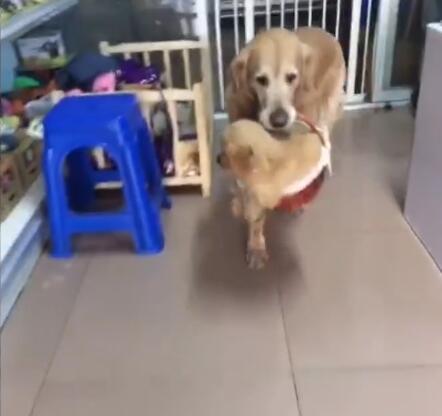 狗妈妈听说主人要把小金毛送走了 这货直接叼起篮子就走-图片1