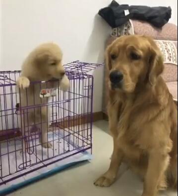 金毛轮胎看见自己的儿子想逃走 就做出这个举动 这智商!-图片1