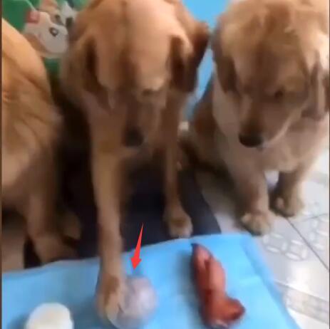 让金毛分配食物 馒头分给其他狗 猪蹄留给自己但理由很充分-图片2