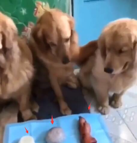 让金毛分配食物 馒头分给其他狗 猪蹄留给自己但理由很充分-图片1