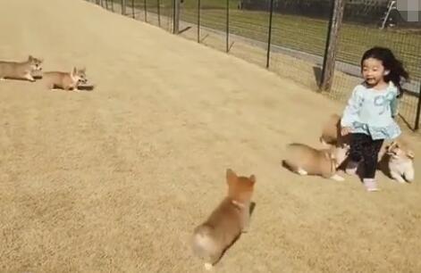 6只软萌的柯基犬追着小主跑 小短腿们有什么可以冲我来!-图片2