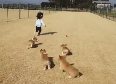 6只软萌的柯基犬追着小主跑 小短腿们有什么可以冲我来!-图片4