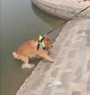 主人带金毛狗狗轮胎去游泳 游完之后尴尬的一幕发生了-图片4