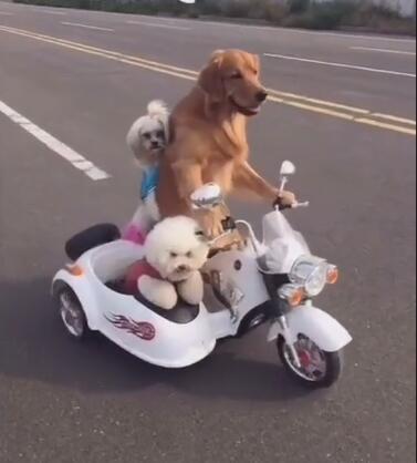 金毛狗狗骑着摩托带着俩兄弟 没想到轮胎还能骑这个车!-图片1