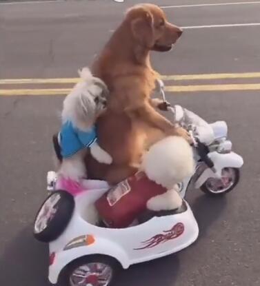 金毛狗狗骑着摩托带着俩兄弟 没想到轮胎还能骑这个车!-图片2