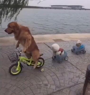 金毛狗狗骑着摩托带着俩兄弟 没想到轮胎还能骑这个车!-图片4